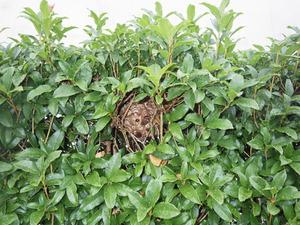 生垣ヒイラギの樹内にあったコガタスズメバチの巣(郡山市).jpg