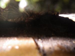 田村市でスズメバチの巣.jpg