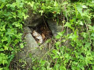 田村市で石垣のスズメバチの母巣.jpg