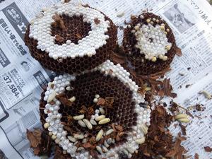 田村市で駆除したスズメバチの巣.jpg