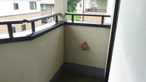 白河市でベランダに奇妙なスズメバチの巣.jpg