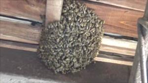 白河市でミツバチの分蜂群.png