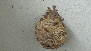 白河市で奇妙なスズメバチの巣を駆除.jpg
