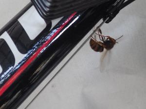 白河市で巣作り中のスズメバチ.jpg
