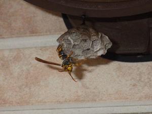 白河市で玄関等の下にアシナガバチの巣.jpg