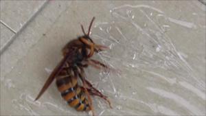 白河市で粘着板で捕虫のスズメバチ.png