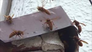 白河市で隙間からスズメバチが出入り.png