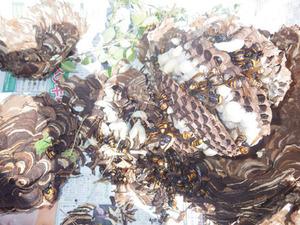 白河市で駆除したスズメバチの巣.jpg