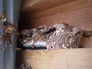 矢吹町で壁内のスズメバチの巣.jpg