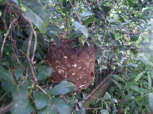 矢吹町で庭木のスズメバチの巣.jpg