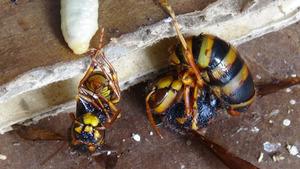 矢吹町で物置のスズメバチの巣の女王蜂.jpg