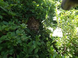矢吹町で生垣のスズメバチの巣.jpg