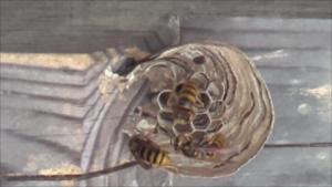 矢吹町で蔵の軒下に作り始めたキイロスズメバチの引っ越し巣.png