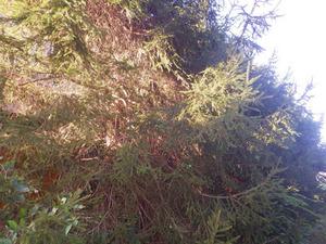 矢吹町で針葉樹内のスズメバチの巣.jpg