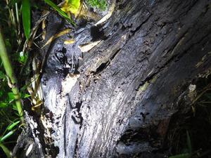石川町でスズメバチの巣があった幹.jpg