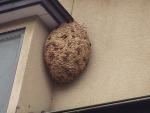 磐梯町で出窓のスズメバチの巣.jpg