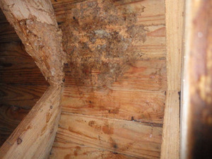 磐梯町で撤去したスズメバチの巣跡.jpg