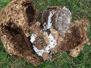 磐梯町で駆除したスズメバチの巣.jpg