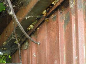 福島市でスズメバチが出入りしていた小屋の隙間.jpg
