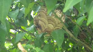 福島市でユズの木にスズメバチの巣.jpg