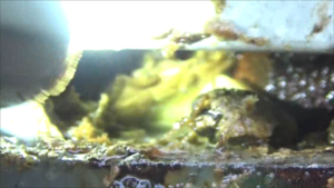 福島市で壁の隙間からスズメバチの母巣.png