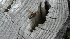 福島市で巣に出入りするスズメバチ.png