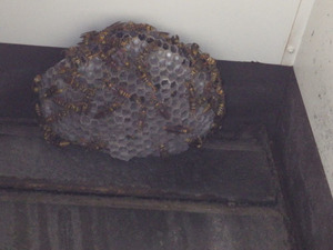 福島市で換気フードのアシナガバチの巣.jpg