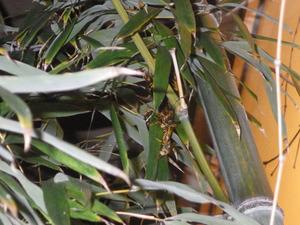 福島市で枝葉に集合するアシナガバチ.jpg