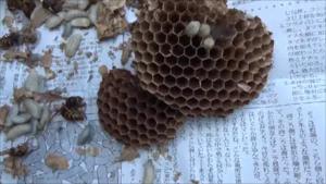 福島市で解体したスズメバチの引っ越し巣.png