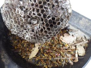 福島市で駆除したアシナガバチの巣.jpg