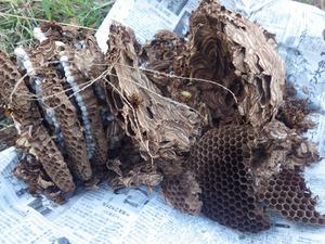 福島市で駆除したスズメバチの巣.jpg