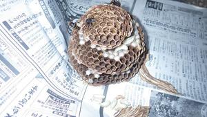 福島市の屋根裏で駆除したモンスズメバチの巣.jpg