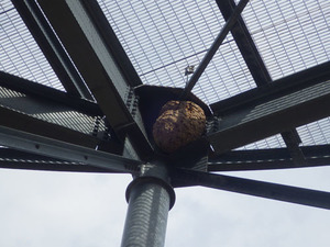 福島空港の施設に作られたキイロスズメバチの巣(福島県).jpg