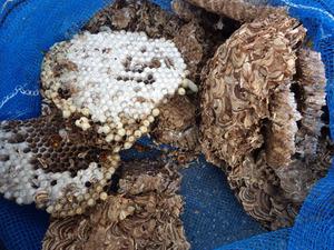 福島空港の施設に作られたキイロスズメバチの駆除した巣(福島県).jpg