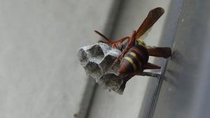 窓枠に女王蜂が作り始めたコアシナガバチの巣(郡山市).jpg