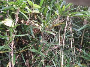竹林の中にあったコガタスズメバチの巣(福島県桑折町).jpg