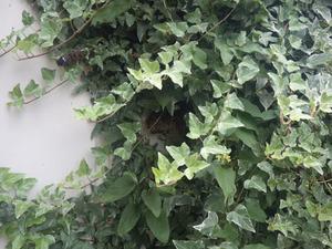 観葉植物のアイビーにうずもれるように作られたキアシナガバチの巣(須賀川市).jpg