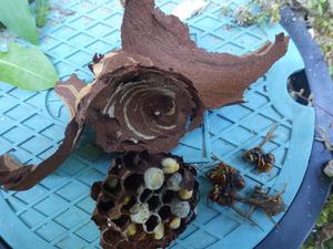 軒天にある小さな穴から出入りするキイロスズメバチの巣を駆除(郡山市).jpg