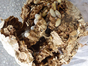 道路標識の裏に作ったスズメバチの巣を駆除(福島県三春町).jpg