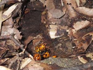 郡山市でオオスズメバチの巣への出入り口.jpg