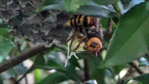 郡山市でスズメバチがアシナガバチの巣を襲うシーン.png