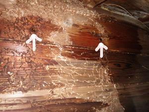 郡山市でスズメバチの巣への出入り口.jpg