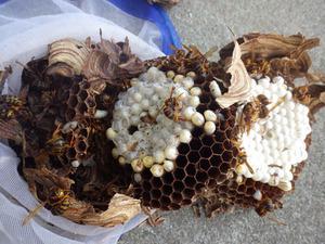 郡山市でスズメバチの引っ越し巣を駆除.jpg