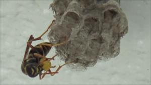 郡山市でベランダ天井のアシナガバチの巣.png