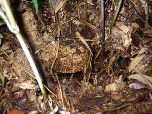 郡山市で土の中のオオスズメバチの巣.jpg
