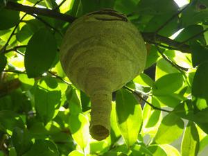 郡山市で庭木に作ったスズメバチの巣.jpg