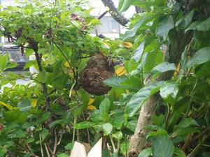 郡山市で庭木のスズメバチの巣.jpg