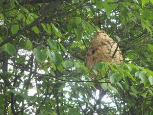 郡山市で樹木のスズメバチの巣.jpg
