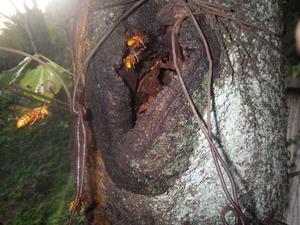 郡山市で樹洞の中のスズメバチの巣.jpg