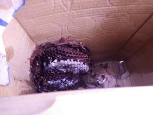 郡山市で段ボール箱の底にスズメバチの巣.jpg